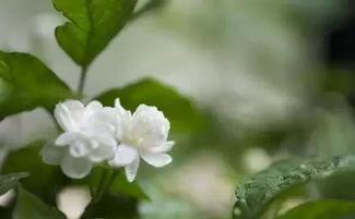 家庭养花朵比较大的花
