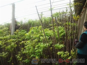香椿苗 香椿苗种植基地