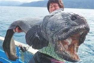 巨型怪鱼入侵日本,是史前生物还是 日本趣闻