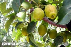 库尔勒70万亩香梨开始全面采摘