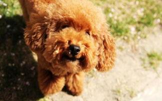 给小泰迪犬起名字