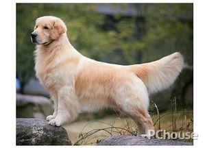 金毛犬多少钱一只 金毛犬如何喂养 金毛犬怎样训练 家居百科