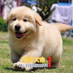 佛山的金毛养殖基地 纯种金毛犬价格 金毛多少钱一只