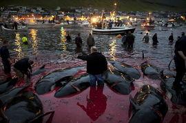 丹麦小岛迎传统屠鲸节 民众杀鲸血染大海