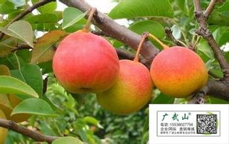 【新品种梨树粉红香蜜梨树苗最新系列新红皮梨品种新西兰粉红香蜜梨3号—