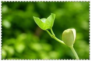 描写春天的植物作文300字迎春花