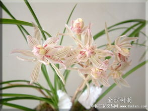 奇花未来百年之经典 金沙树菊