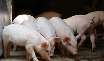 客家人与猪的渊源:伯公赏神猪 一料猪肉祭祀 养猪与读书同样重要  一头学识渊博的猪教案